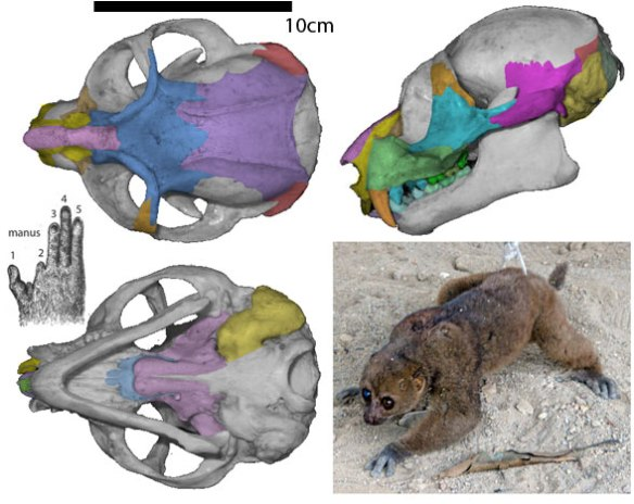 Figure 4. Perodicticus potto, the extant potto, has a typical lemur dentition, lacking giant incisors.