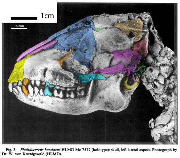 Figure 2. Pholidocercus skull with DGS colors added. Distinct from most members of the Glires, the canine becomes more robust in the hedgehog clade. Note the posterior jaw joint, the opposite of mouse-like rodents.
