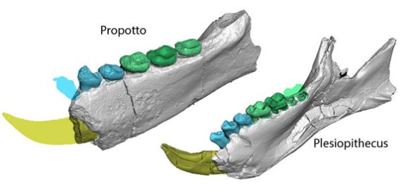 Figure 1. Propotto and Plesiopithecus nest with Daubentonia in Gunnell et al. 2018, which does not test many rodents, despite the rodent-like teeth shown here.