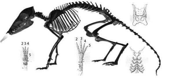 Figure 4. Skeleton of the elephant shrew, Rhynchocyon. Note the digitigrade manus and pes, like those of basal artiodactyls.