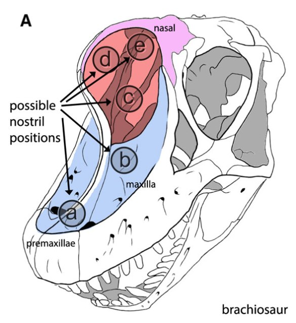 Figure 1. From Witmer 2001 showing brachiosaur sauropod skull, colors added. Witmer suggests the nostril might have been located at point 'B' in the maxillary basin (blue) rather than in the external naris (red).
