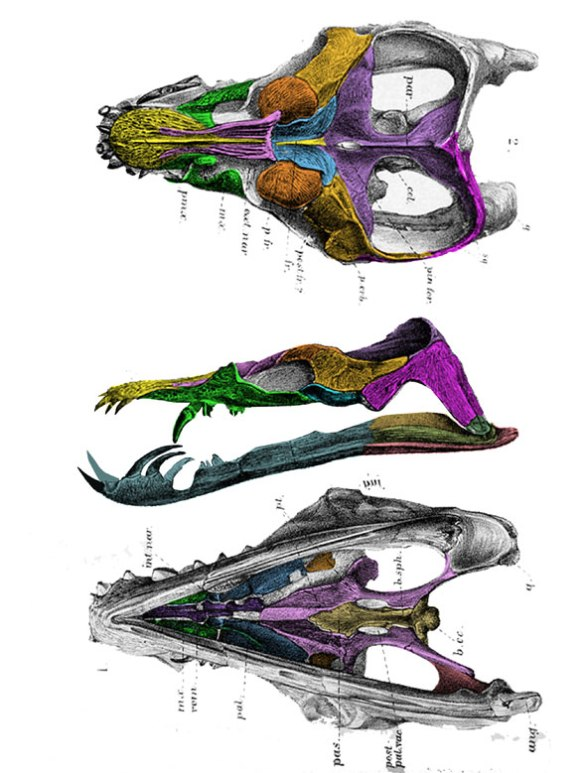 Figure 6. Anningasaura colorized from an old engraving. No other aquatic taxon has such bizarrely curved teeth. This taxon is closely related to Hauffiosaurus.