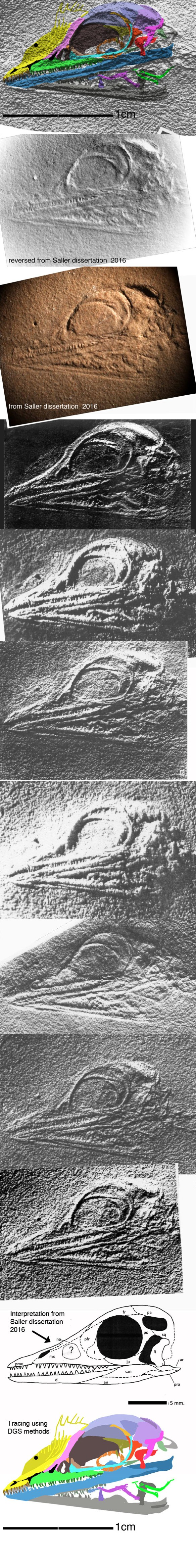 Figure 1. The skull of Cosesaurus traced using DGS methods and lit at various angles. Some of these are negatives of a negative mold, giving a positive view. Saller was not sure about the antorbital fenestra, probably because it is represented by an elevated portion in the mold.