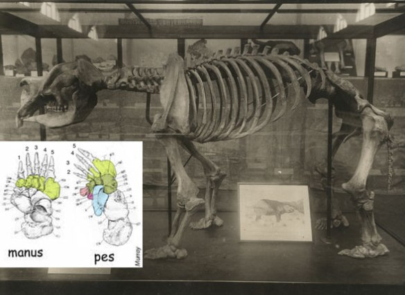 Figure 2. Diprotodon museum mount and dorsal views of the manus and pes.