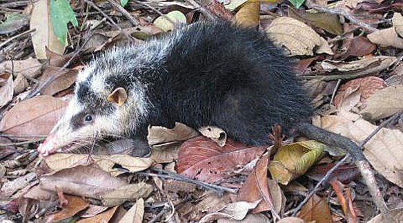 Figure 3. Echinosorex, the extant moonrat, looks like an opossum, but nests with Deinogalerix in the large reptile tree.