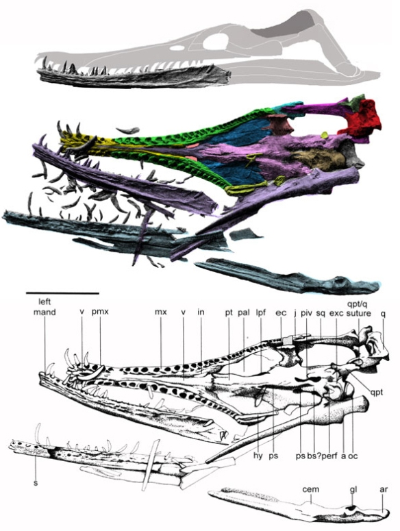 Figure 4. Hauffiosaurus skull in palatal view from Vincent 2011, colors added. Overlooked by Vincent, the premaxilla (yellow) contacts the internal naris