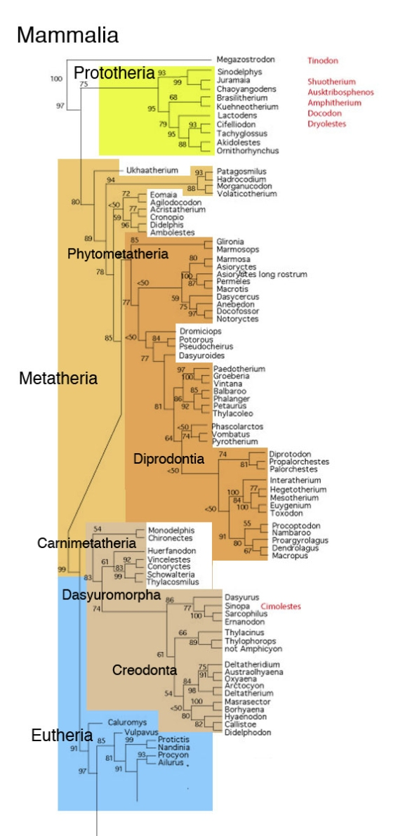 Figure 1. Subset of the LRT focusing on Metatheria after the addition of Diprotodon and Palorchestes. Some new clades are proposed here.