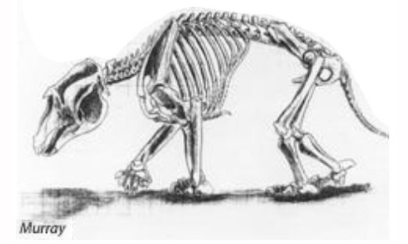 Figure 5. Palorchestes by Murray 1986. The post-crania is similar to Diprotodon here, perhaps not this completely known.
