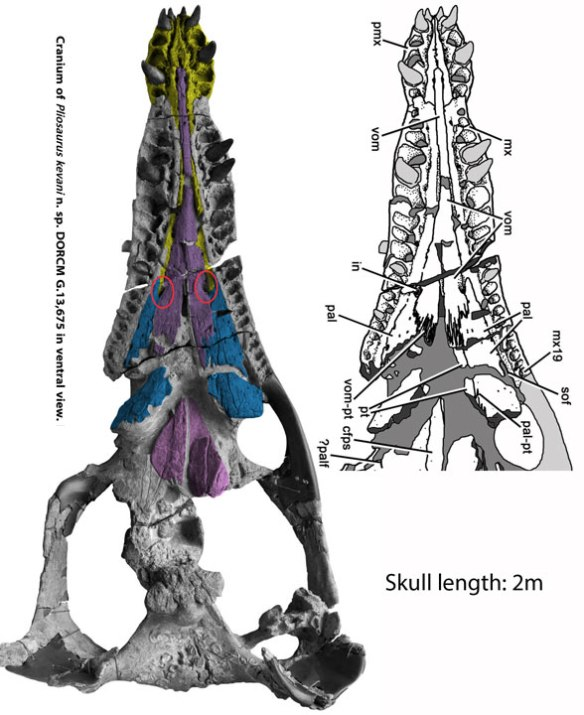 Figure 4. Pliosaurus kevani palate, from Benson et al. 2013, also has an overlooked premaxilla-internal naris contact.