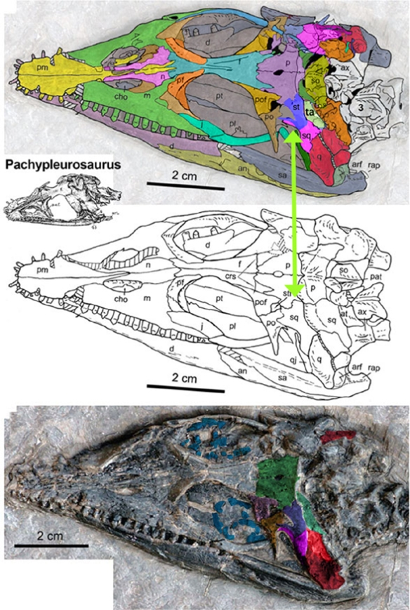 Figure 4. Slight changes to the temple region of Qianxisaurus shows the reappearance of the suptratemporal, which had been lost in more primitive taxa only to be reacquired here and further elaborated in Cartorhynchus.