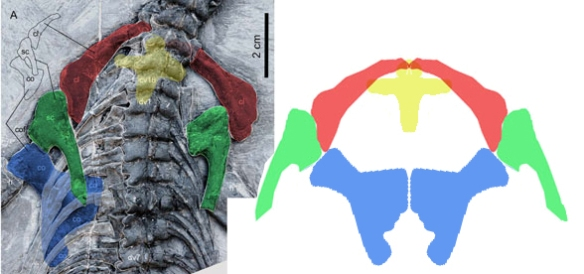 Figure 5. The Qianxisaurus pectoral girdle is ancestral to the Cartorhynchus pectoral girdle with similarly shaped elements. Compare to figure 1.