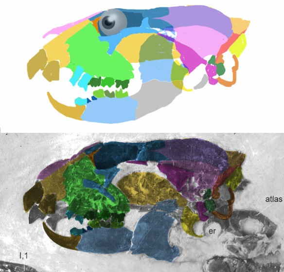 Figure 1. Apatemys skull traced and reconstructed using color overlays (DGS). Yes, quite a bit of the mandible appears to be hidden beneath the broken coronoid process.