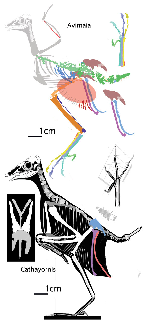 Figure 1. Avimaia compared to Cathayornis to scale.