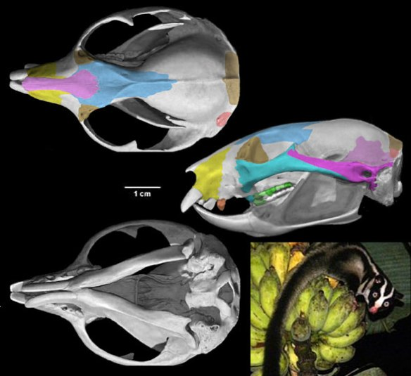 Figure 1. Dactylopsila skull in 3 views, plus in vivo. Comparisons to the extinct arboreal placental Apatemys (figure 2) are intriguing, showing convergence.