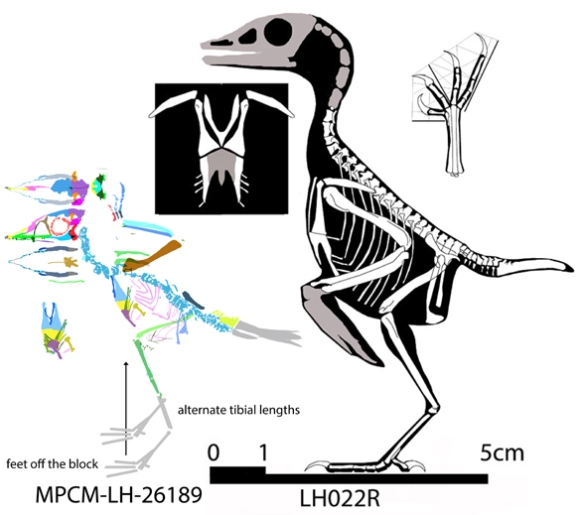 Figure 2. Tiny Iberomesornis compared to scale with even tinier MPCM specimen. Note the tiny fingers. Two tibial lengths are presented since this data remains unknown. The tiny MPCM specimen does not appear to have juvenile proportions.