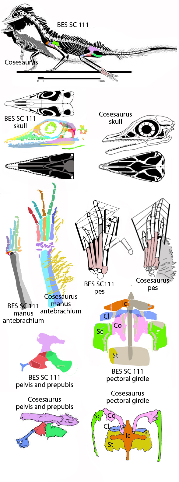 Figure 1. The BES SC111 specimen attributed to Macrocnemus compared to Cosesaurus, the taxon transitional to pterosaurs. See text for detais.