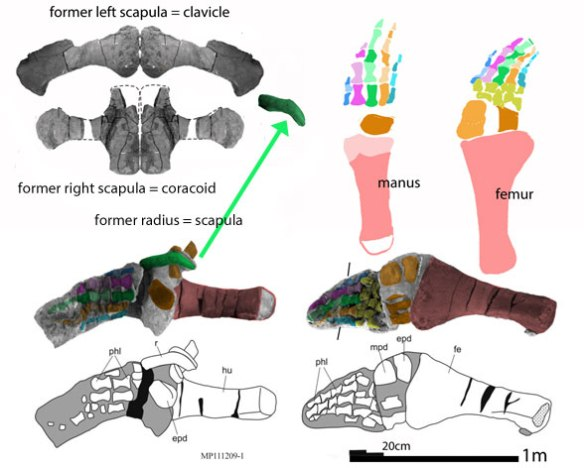 Figure 3. Sachisaurus pectoral girdle and flippers reconstructed with new identities provided here.