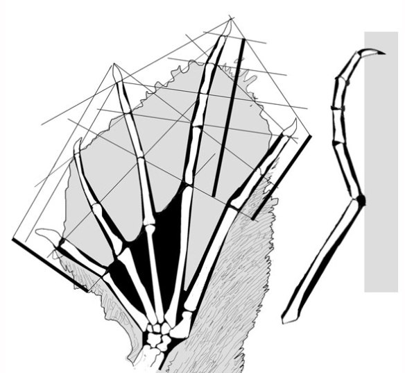 Figure 3. Sharovipteryx pes in dorsal and digit 4 in lateral view.