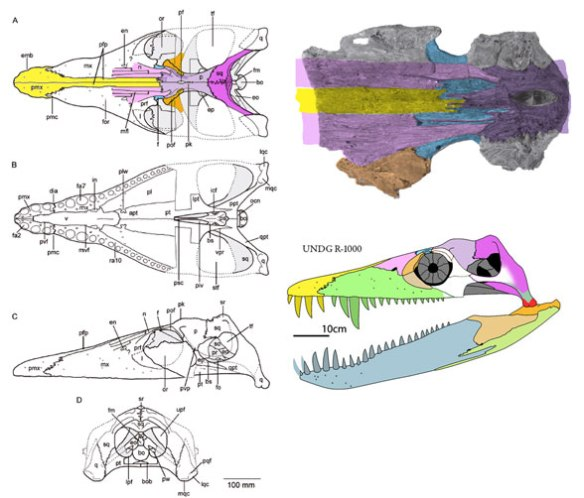 Figure 1. Acostasaurus skull from Pérez and Noé 2017, colors added.