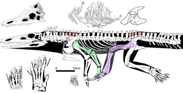 FIgure 2. Diandongosuchus (2012) compares well with Prorotodactylus tracks. These legs are long enough to make overlapping tracks. Diandongosuchus is closer to the genesis of phytosaurs and their sisters, the chañaresuchids than to dinosaurs.