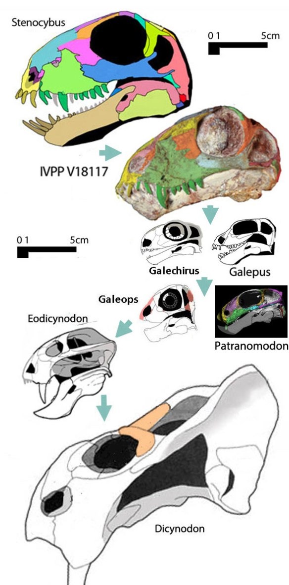 Figure 3. The ancestry of dicynodonts includes Patranomodon and Galeops.