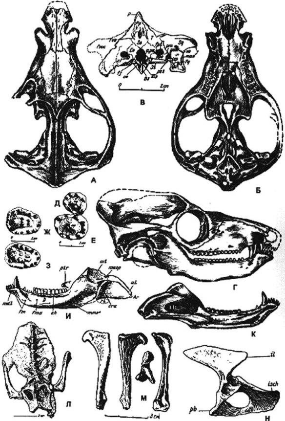 Figure 1. From Amalitskii 1922, Dvinia skull and mandible from various views.