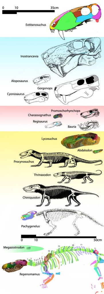 Figure 2. Gorgonopsids, therocephalians and cynodonts to scale.