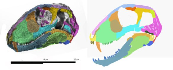 Figure 1. Hipposaurus skull with colors applied and used to create reconstruction on the right. Note the squamosal is largely missing and splinters of bone fill the orbit. Here those splinters are used to recreate a standard squamosal for this clade.
