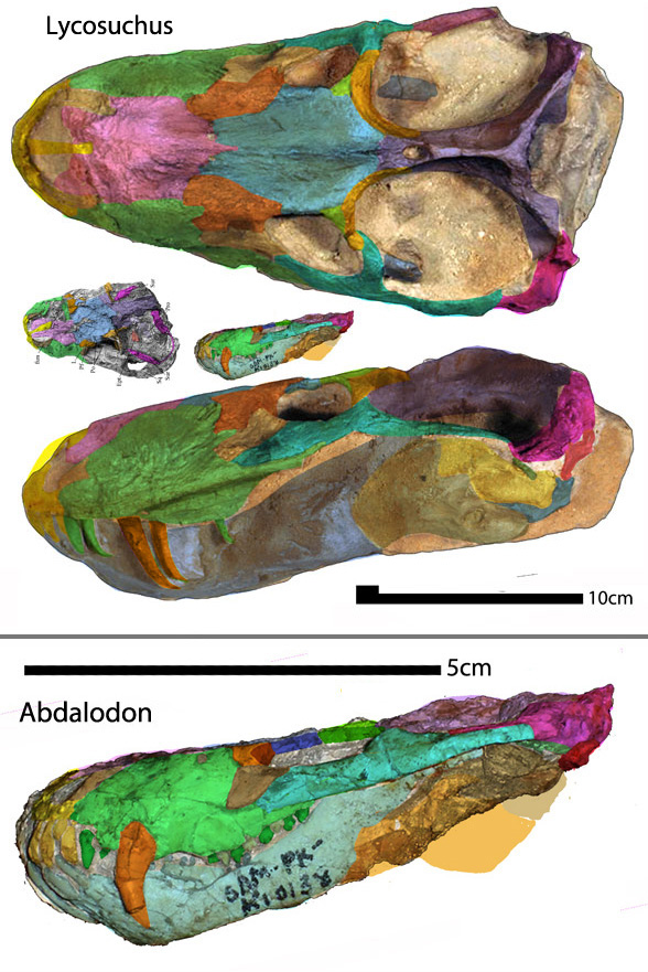 Figure 1. Abdalodon nests with the many times larger therocephalian Lycosuchus in the LRT.
