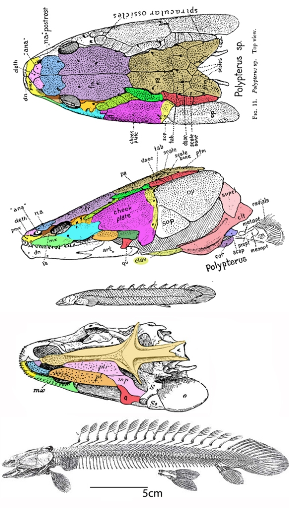 Figure 1. The Nile bichir (Polypterus), skull, skeleton and bones colorized for ease of comparison. Compare to the placoderm, Entelognathus, (Fig. 2) and the stem tetrapod Tinirau (Fig. 3).