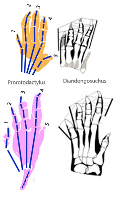 Figure 3. Manus and pes casts of Prorotodactylus compared to manus and pes of Diandongosuchus (Fig. 4).