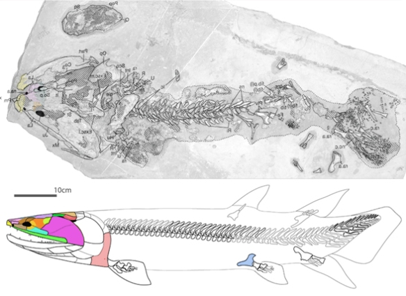 Figure 3. The stem tetrapod, Tinirau. Compare to Polypterus (Fig. 1) and Entelogenathus (Fig. 2).