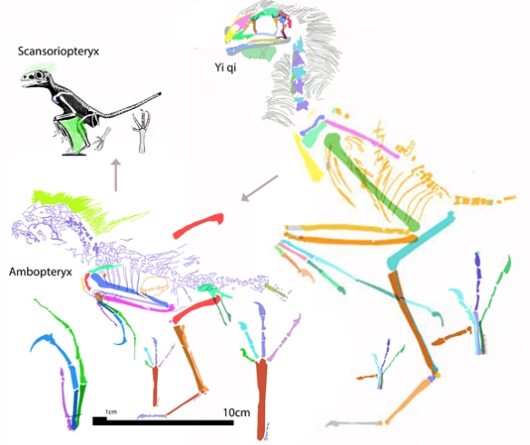 Figure 1. Ambopteryx nests midway and is phylogenetically midway between the larger Yi and the smaller Scansoriopteryx. None of these taxa have an extra long bone in the arm.