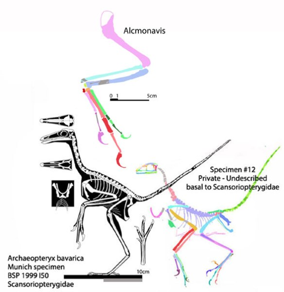 Figure 1. Alcmonavis to scale with its sister in the LRT, the Munich specimen.