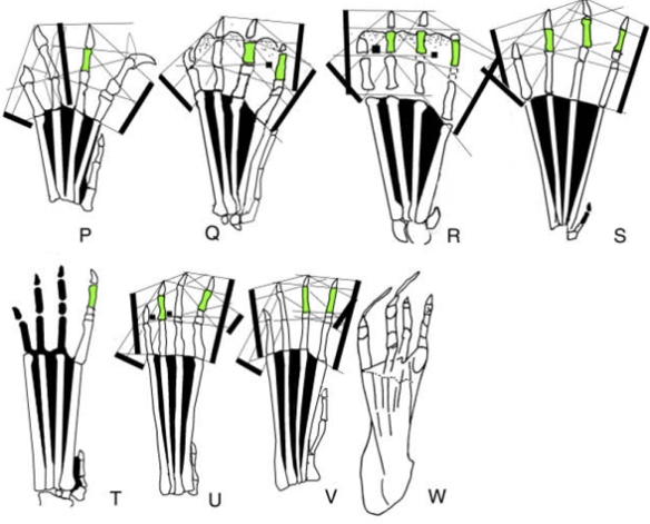 Figure 1. A selection of ctenochasmatid feet. Note the short penultimate phalanges (green).