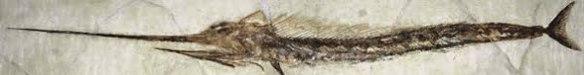 Figure 5. Another Blochius specimen from Eocene strata.