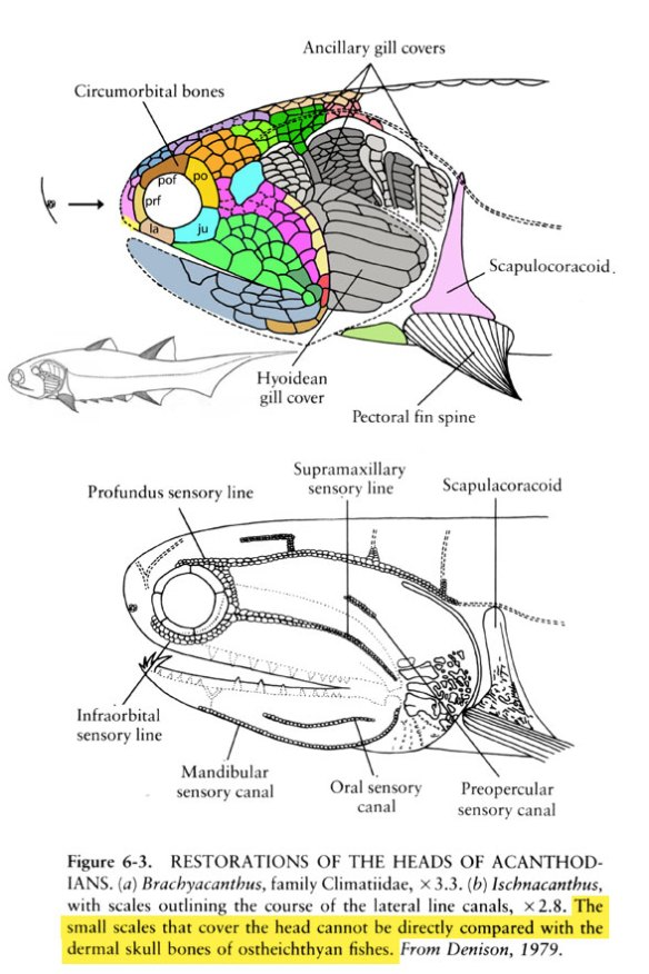 Figure 1. Brachyacanthus is a tiny acanthodian fish with division, rather than fusion, of the facial bones. These correspond to those of sister taxa in the LRT. You might call it guesswork. You might call it pattern recognition.