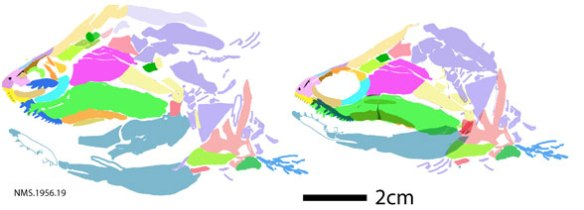 Figure 3. Cheirolepis DGS tracing and reconstruction, distinct from original but in one with sister taxa in the LRT.