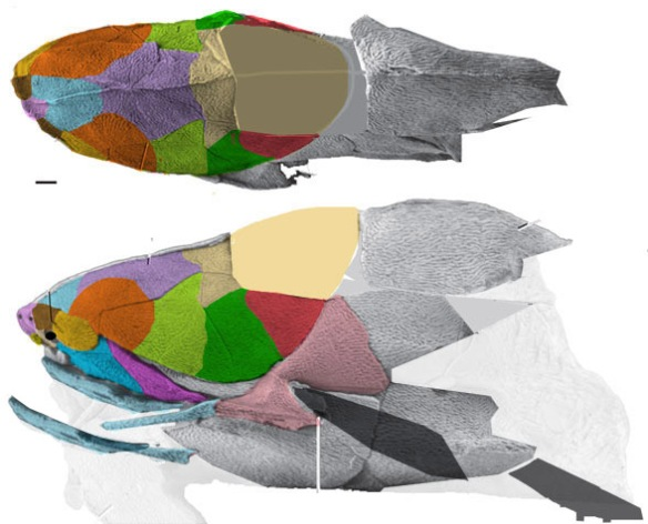 Figure 2. The placoderm, Entelognathus, is widely considered the outgroup to the crossopterygians, the stem tetrapods. Compare the skull bones to those of Polypterus (Fig. 1) and Tinirau (Fig. 3). The posterior is unknown.
