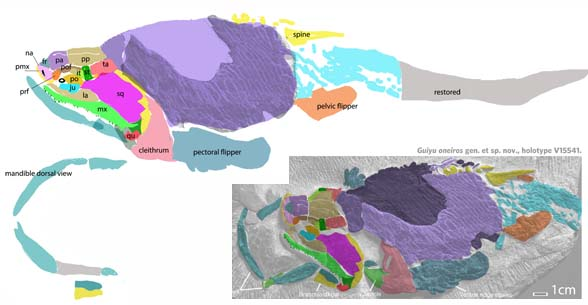 Figure 2. Guiyu in situ, DGS colors added here and used to create the flatter, wider reconstruction with paddles preserved.