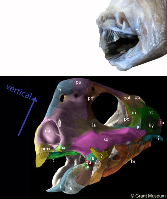 Figure 1. Ratfish skull with 'bones' (actually precursor cartilage' colored and labeled.