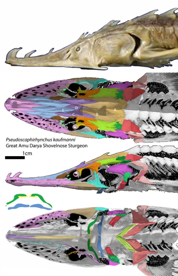 FIgure 2. The small sturgeon Pseudoscahirhynchus skull in several views. Note the perforated rostrum (nasal) sensitive to prey hiding in mud. The mouth is reduced to a tiny sucking tube disconnected from the quadrate. Even so, this sturgeon nests with sharks in the LRT.