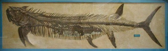 Figure 2. Xiphactinus fossil. The famous fish-within-a-fish. Note the posterior pelvic fins.