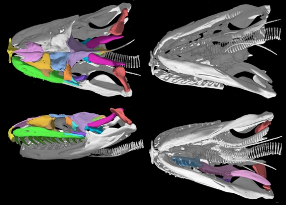 Figure 6. Boa constrictor skull from 4 angles. Note the similarities, by convergence, to the Gymnothorax skull in figure 2.