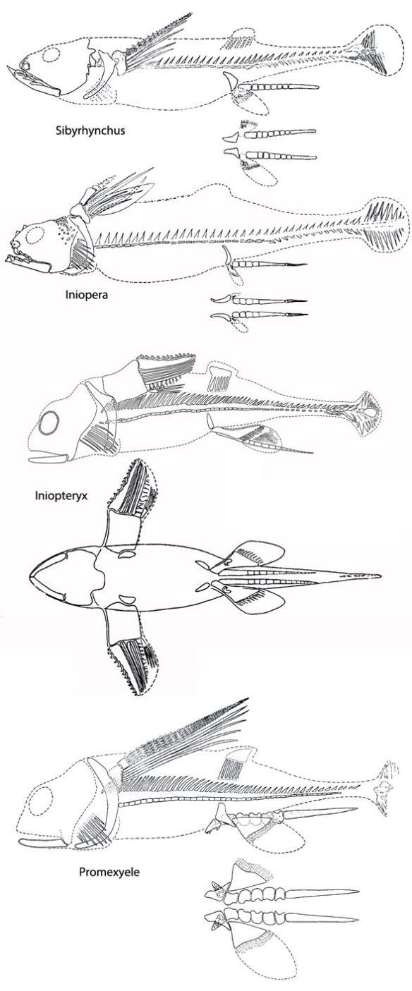 "Figure 2.I The Iniopterygidae include Iniopteryx, Promexyele, Iniopera and Sibyrhynchus. These reconstructions are from Zangerl and Case 1973 and the captions label them ""tentative."""