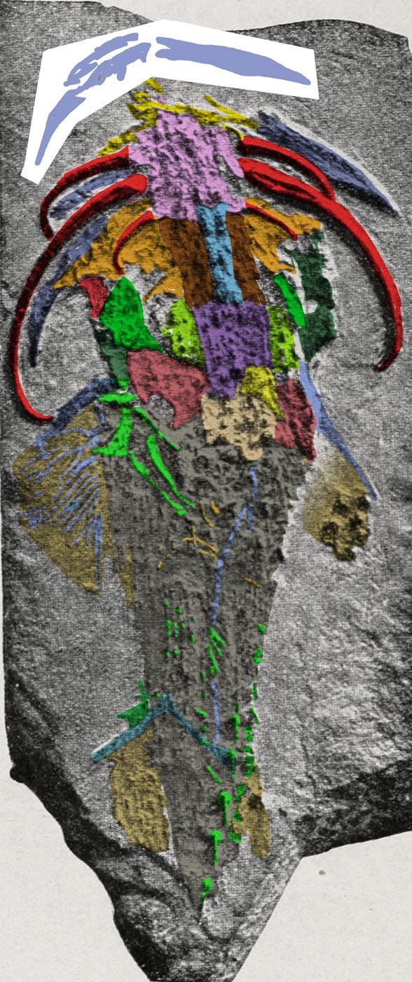 Figure 2. Menaspis armatas in situ. Colors added to bones and skin.