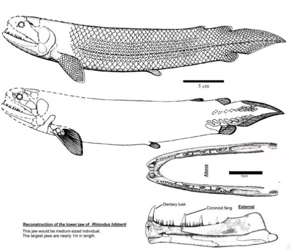Figure 8. Rhizodus images appear to be transitional toward the morphology of Gymnothorax.