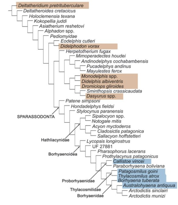 FIgure 1. Cladogram of the traditional Sparassodonta from Babot and Forasiepi 2016. Taxa also found in the LRT are colored.