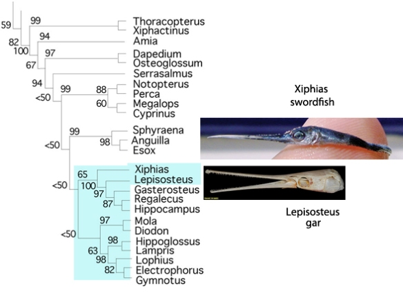 Figure 3. Subset of the LRT focusing on ray fin fish and showing a hatchling swordfish and an adult gar.