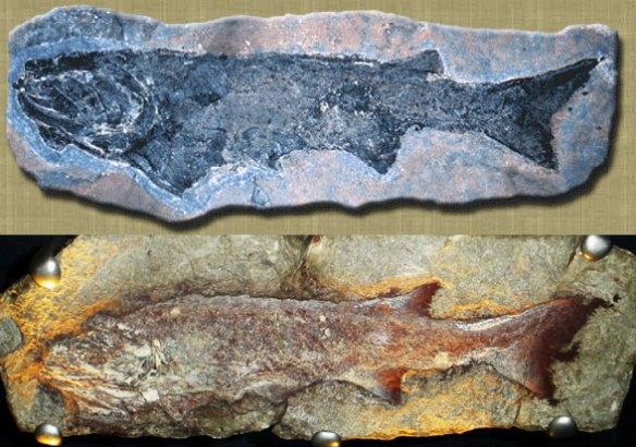 Figure 1a. Cheirolepis fossils.